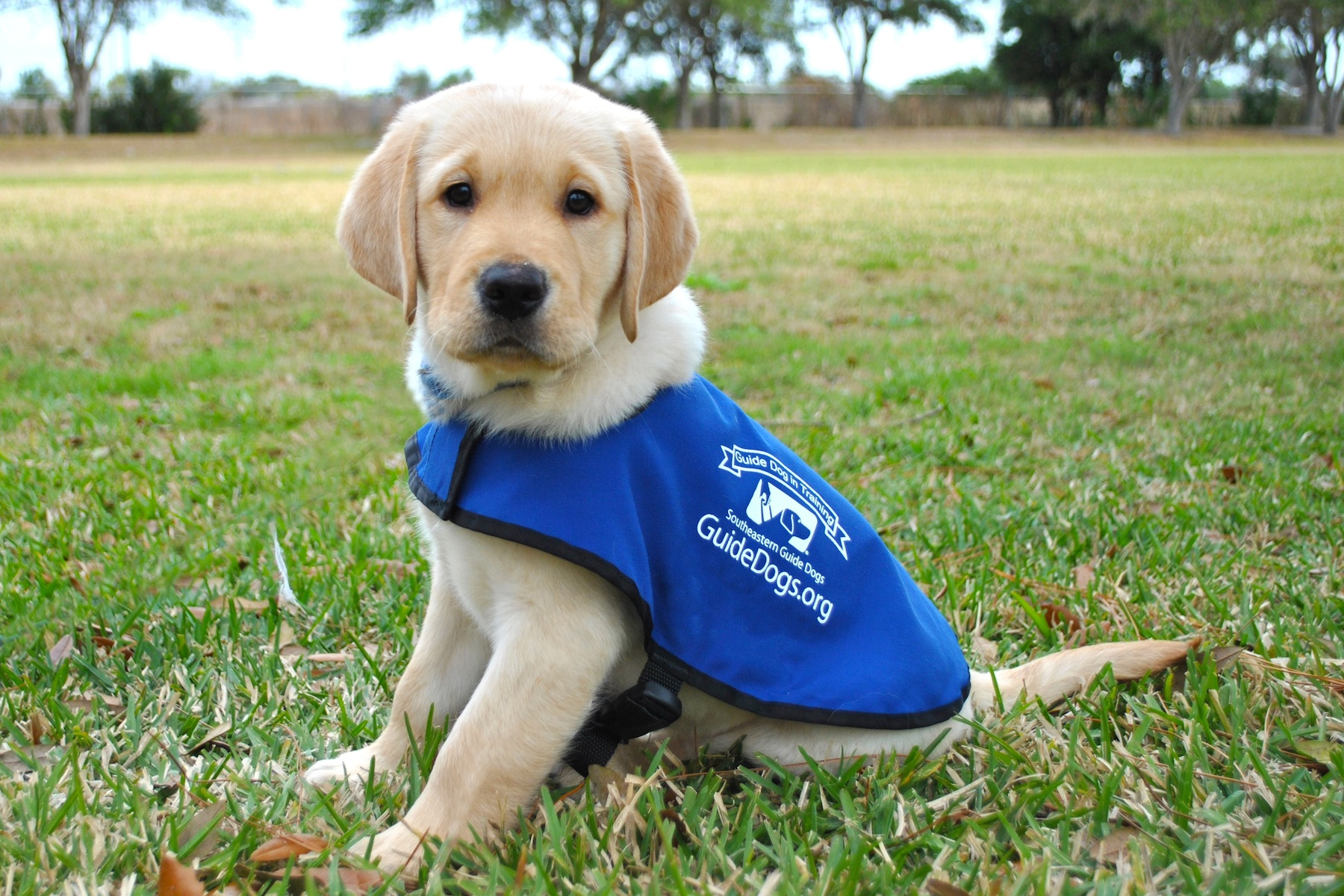 Labrador guide dogs graduation day with puppy show in sydney.